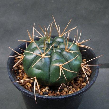 150911--Sany0046--eurypleurum--FR 1178--Koehres seed