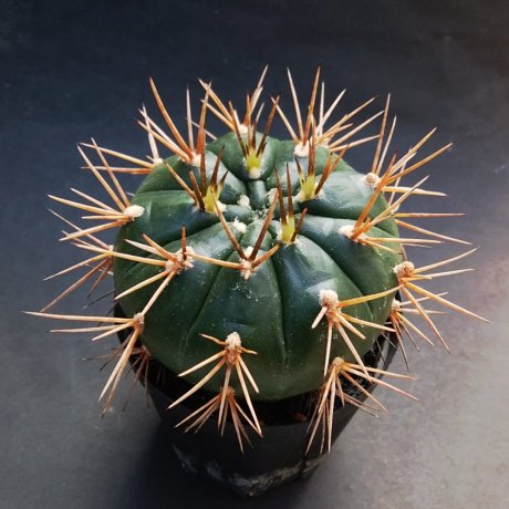 191229--DSC_4023--eurypleurum--jika mishou--curved spines -lonng spines