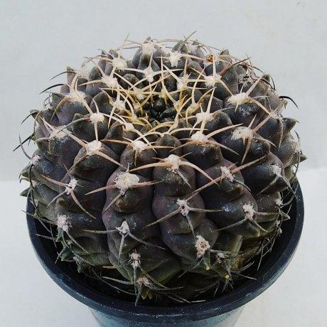 200112c--DSC_4162--ochoterenae v albispinum--Jecminek seed 0-2724