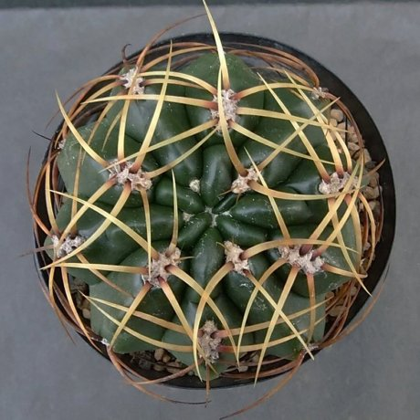 200112cc--DSC_4153--monvillei ssp saflonovii--Tom 12-560-1--Bercht seed