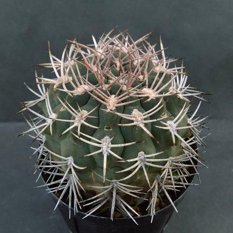200112--DSC_4158--catamarcense aff--pugyonacanthum sensu Till--VS 52--Anillaco LR 1500m--ex Eden IB 18854 (2012)