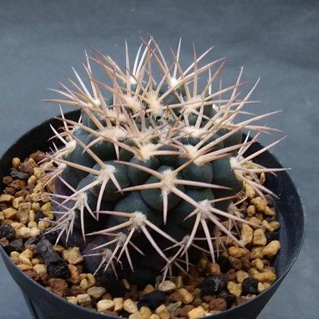200113--DSC_4169--pugionacanthum sensu Till--nidlans--LF 27a--Anillaco 1800m--Berccht seed 3405 (2016)