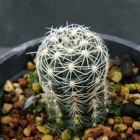 200112--DSC_4135--brucii ssp deminii--VG 1176--V Gapon seed (2018)