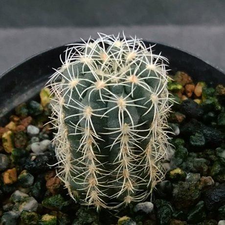 200112--DSC_4141--bruchii v atroviride--HV 1759--La Cumbre--Bercht seed 1983 (2018)