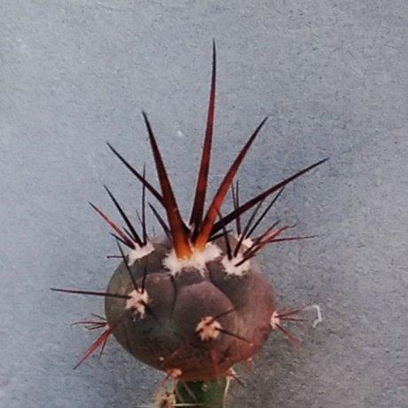 200128a--DSC_4228--armatum--VS 579--w of Paichu Centro Tarija--Cactus Moravia seed (2020)