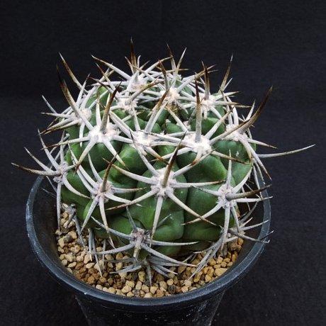 200212--DSC_4316--mostii v kurtzianum--Sierra de Orro--Bercht seed GYM 263 (2003)