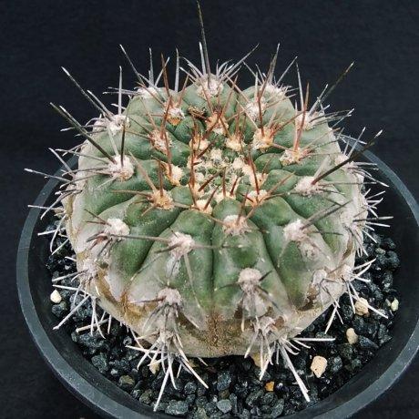 200226--DSC_4407--glaucum--Mesa seed 468.3