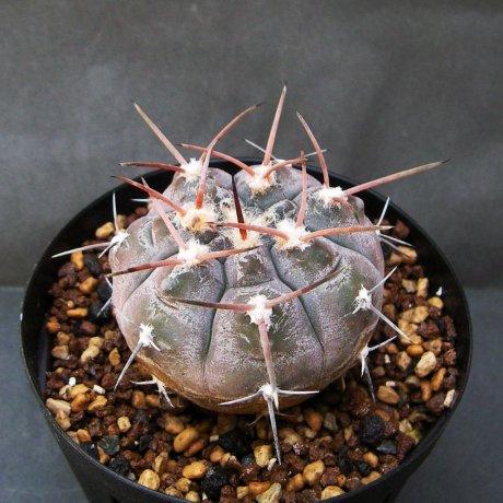 140724a--Sany0041--glauum --VS 48--San Blas LR 1050m--Mesa seed 468.34