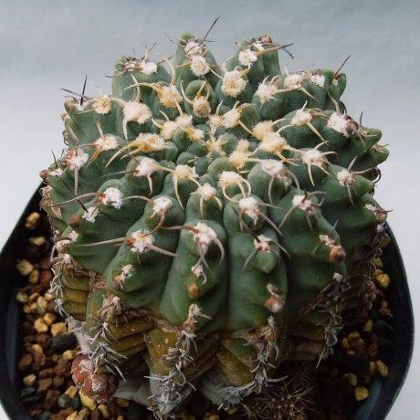 200330--DSC_4711--quehlianum v flavispinum--Koehres seed 626