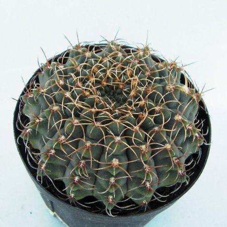 141104--Sany0166--quehlianum v flavispinum--P 180--Cordoba (Rio Tercero 600m)--Piltz seed 4284
