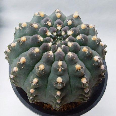 200330--DSC_4724-quehlianum v kleinianum--Piltz seed 2303