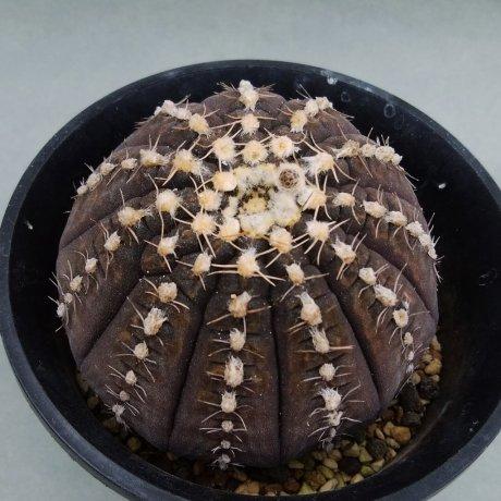 200403--DSC_4743--ragonesei--jien seed