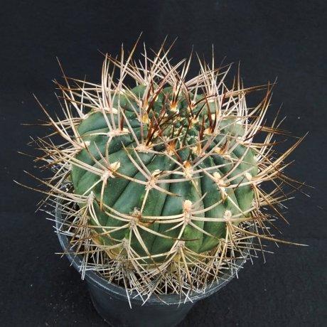 181108_145641--rhodantherum--southern Famatina--Piltz seed 3552