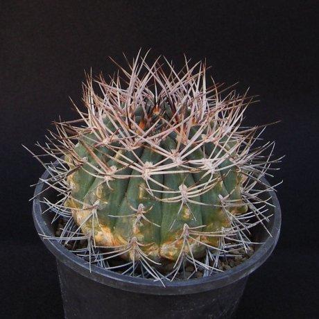 161016--Sany0016--rhodantherum-southern Famamatina--Piltz seed 3552