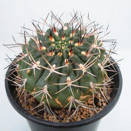 120804--Sany0039--rhodantherum-southern Famatina--Piltz seed.3552