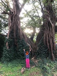 R22月アコウの巨樹