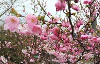 2020 4月1日 桜
