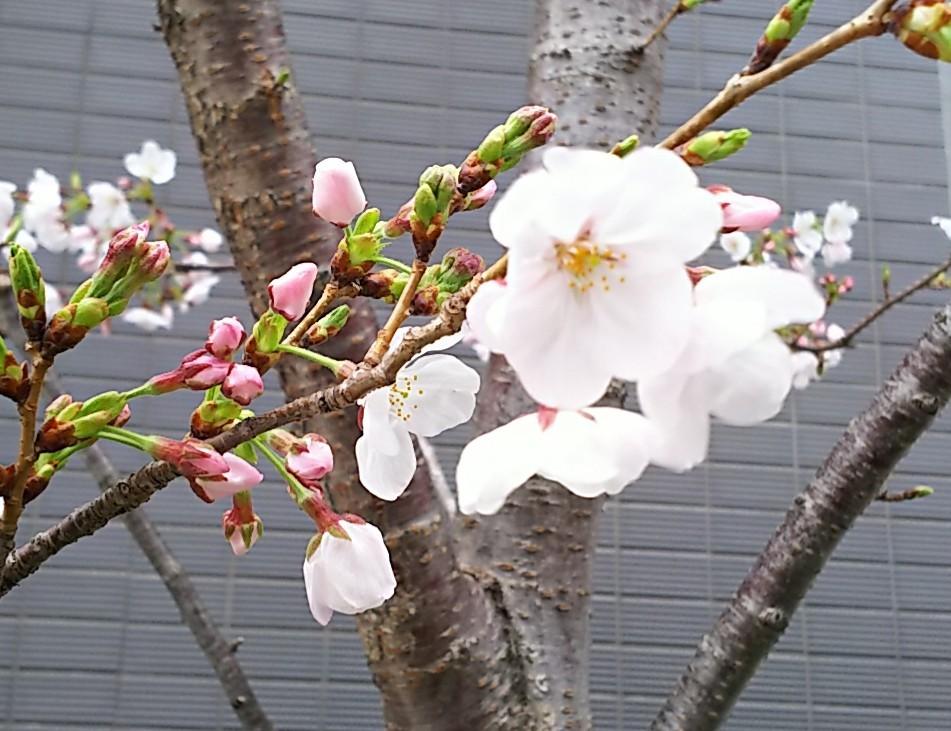 1 「桜」