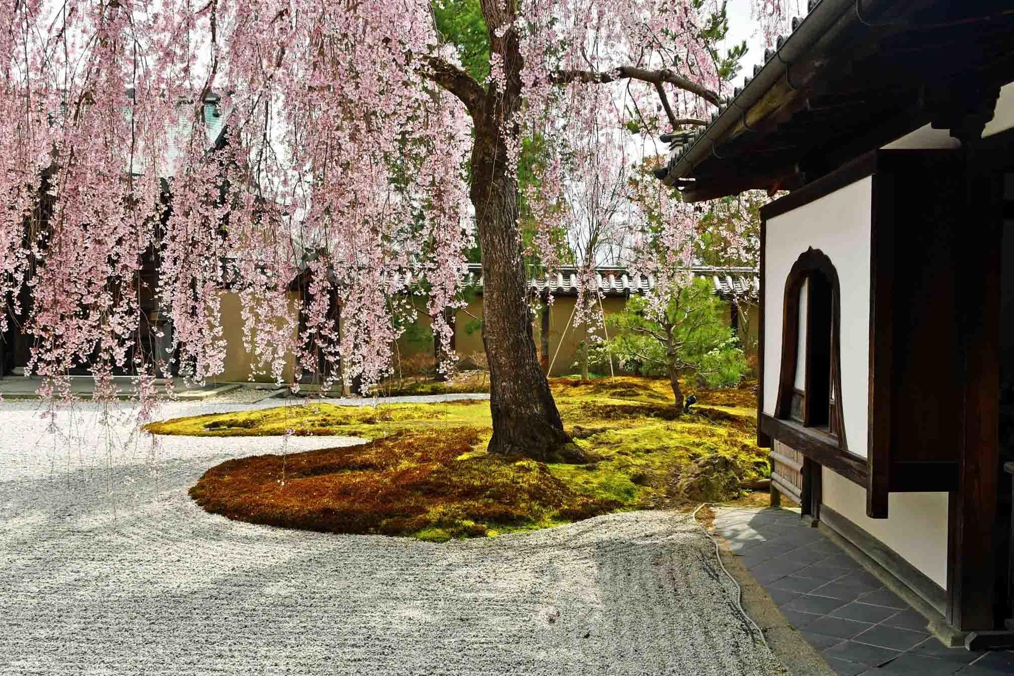 3「高台寺方丈の枝垂れ桜」