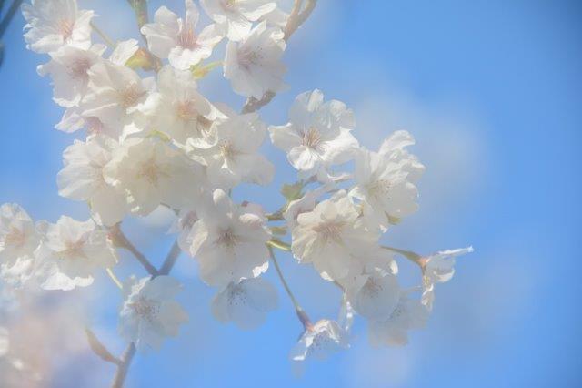 9「桜花爛漫」