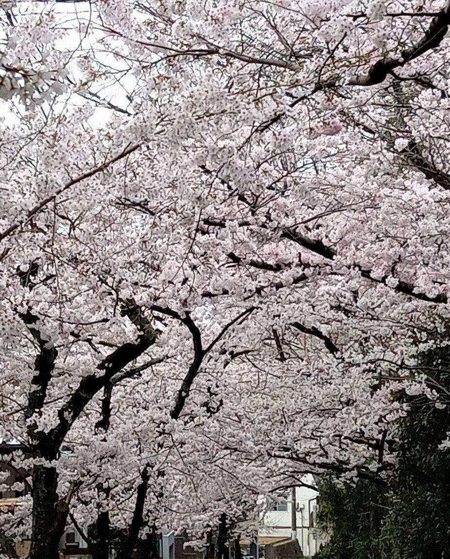 17「桜並木-1」