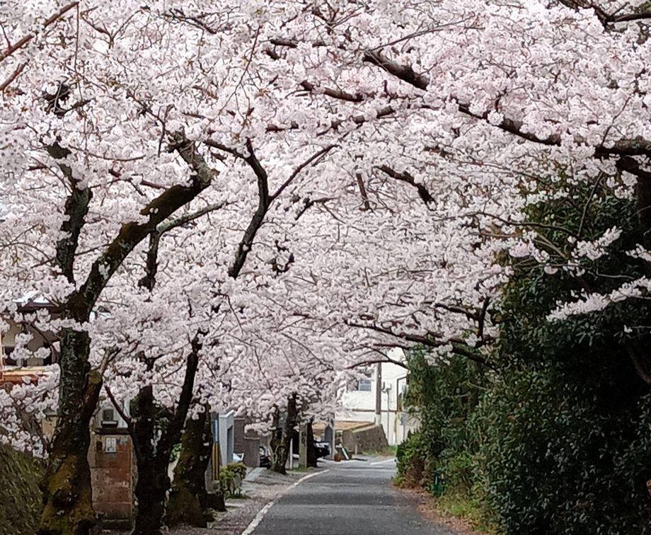 18「桜並木-2」