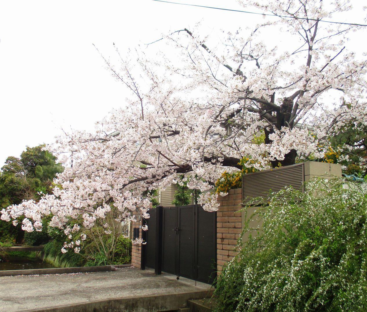 21「春風駘蕩桜爛漫」