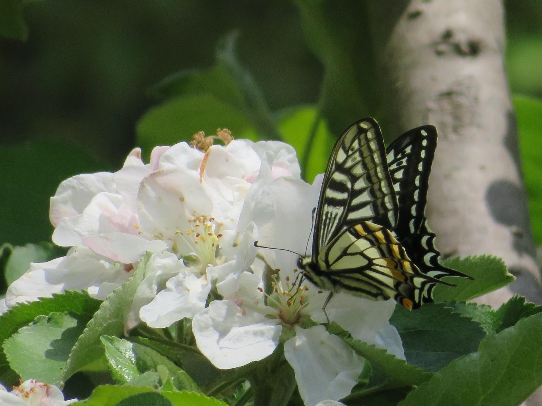 ⑫「リンゴの花とアゲハ」