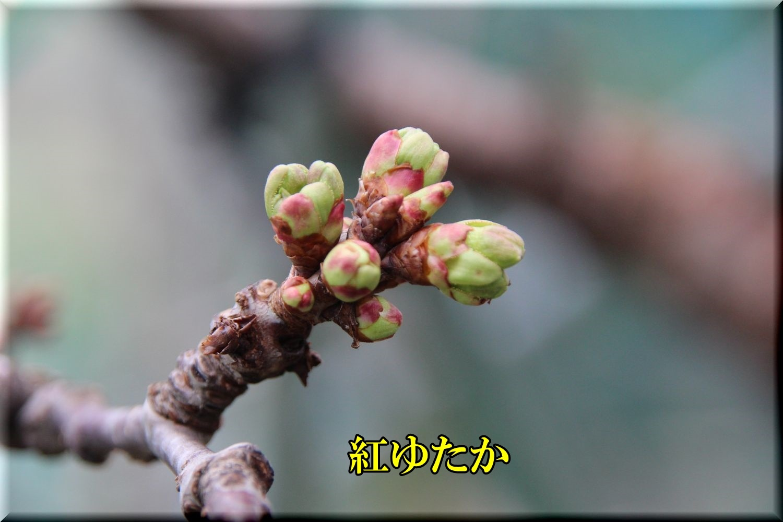 1beniyutaka200331_009.jpg
