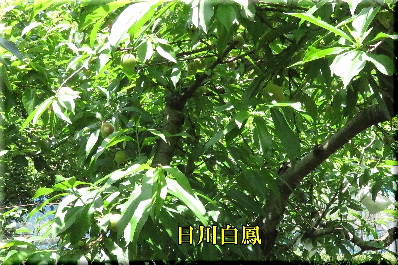 1hikawahaku200524_059.jpg