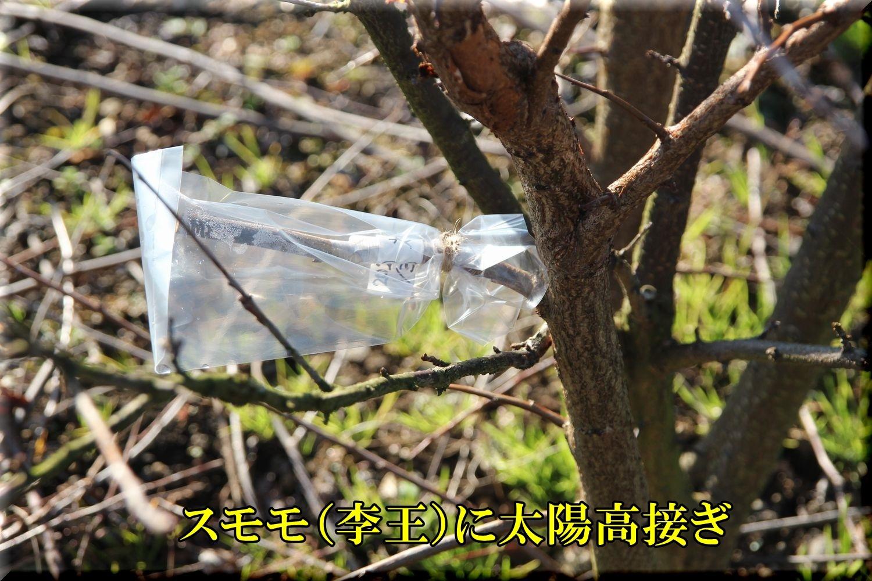 1sumomo200130_007.jpg
