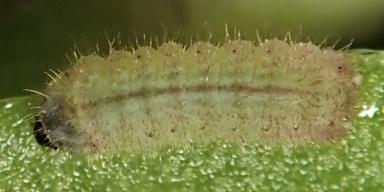 e-ムシャクロツバメシジミ幼虫3_5mm-2019-09-17-Tg570884