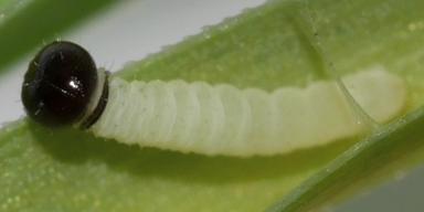 e-コキマダラセセリ初齢幼虫3_4mm-2019-08-01-P1400684
