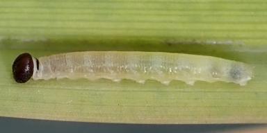 e-コキマダラセセリ2齢幼虫7mm-2019-08-09-Tg590241