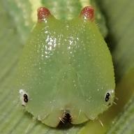 e-ヒメキマダラヒカゲ幼虫17mm-2020-04-01-TG510028