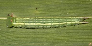e-ヒメキマダラヒカゲ幼虫18mm-2020-04-02-TG520037