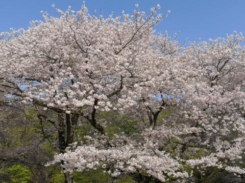 20200404桜2