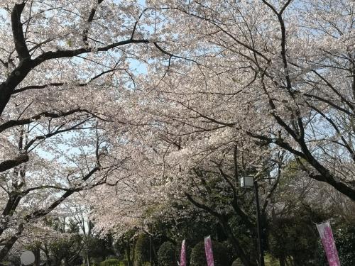 20200404桜3