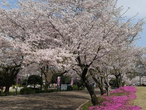 20200404桜4