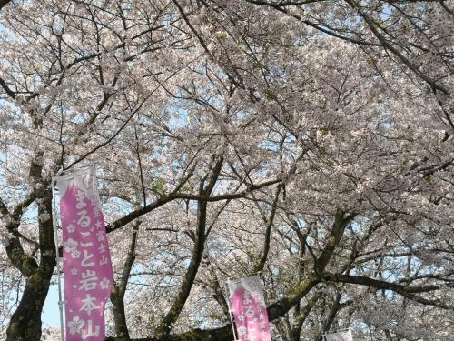 20200404桜5