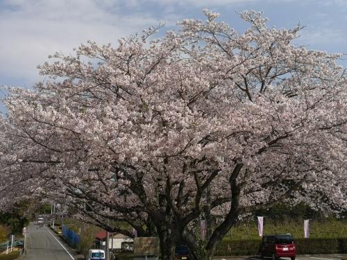 20200404桜6