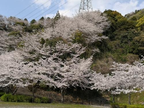 20200404桜7