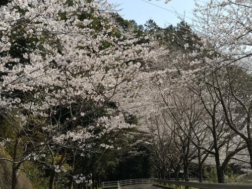 20200404桜8