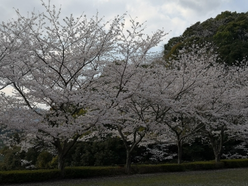 20200404桜9