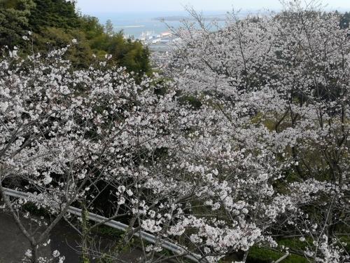 20200404桜10