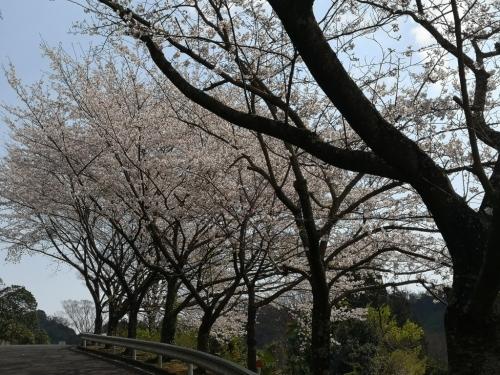 20200404桜11