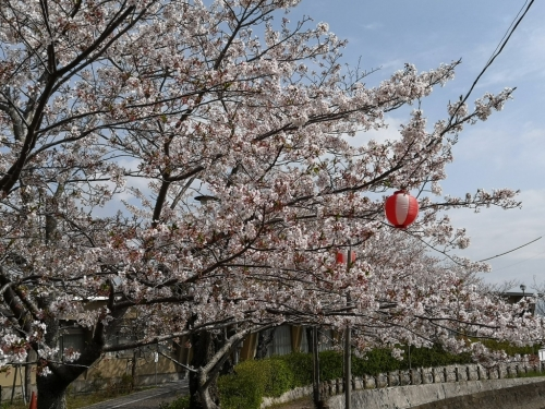 20200411船越桜3