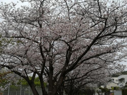 20200412桜1