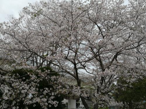 20200412桜2