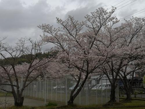 20200412桜3